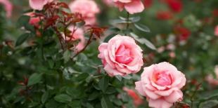 Как часто поливать розы