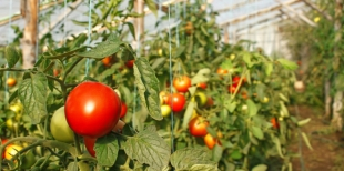 Как поливать помидоры йодом