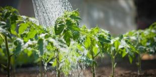 Как поливать помидоры дрожжами