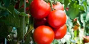 Как поливать помидоры борной кислотой