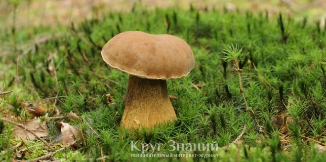 Ложный белый гриб - Круг знаний