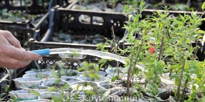 Выращивание годжи и из семян