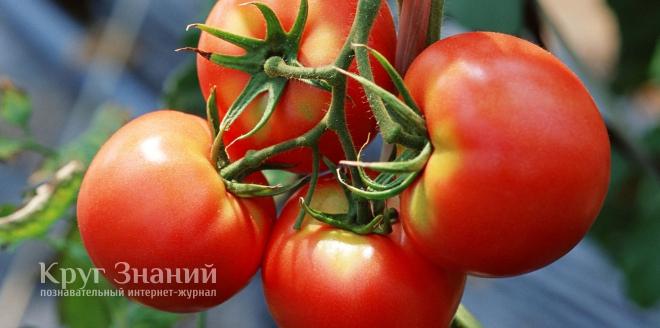Как избавиться от тли на помидорах
