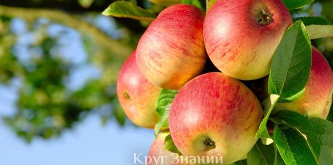 Поздние сорта яблонь