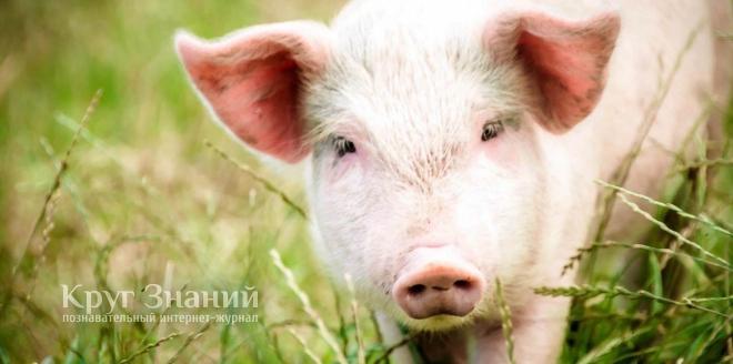 Температура у свиней